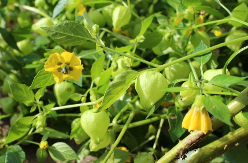 Tomatotillo flowers