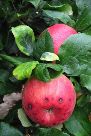 Katy Apple