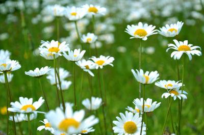 churchyard daisies