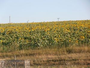 Moldovasunflowers