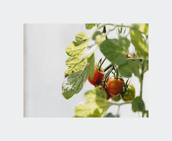Tomatoes hanging