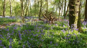 Square Jaws Bluebells