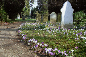 Churchyard with graves and crocus