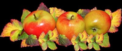 Harvest Apples photo