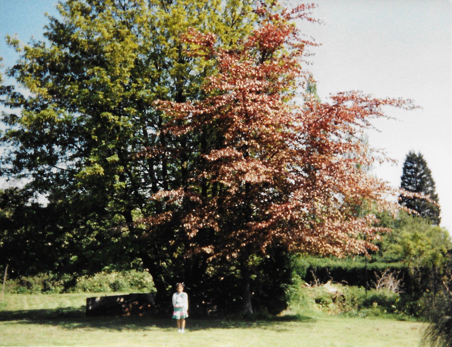A small child standing in front of large trees with pink blossom, hedges and tall trees behind
