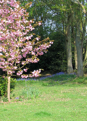 blossom and bluebells