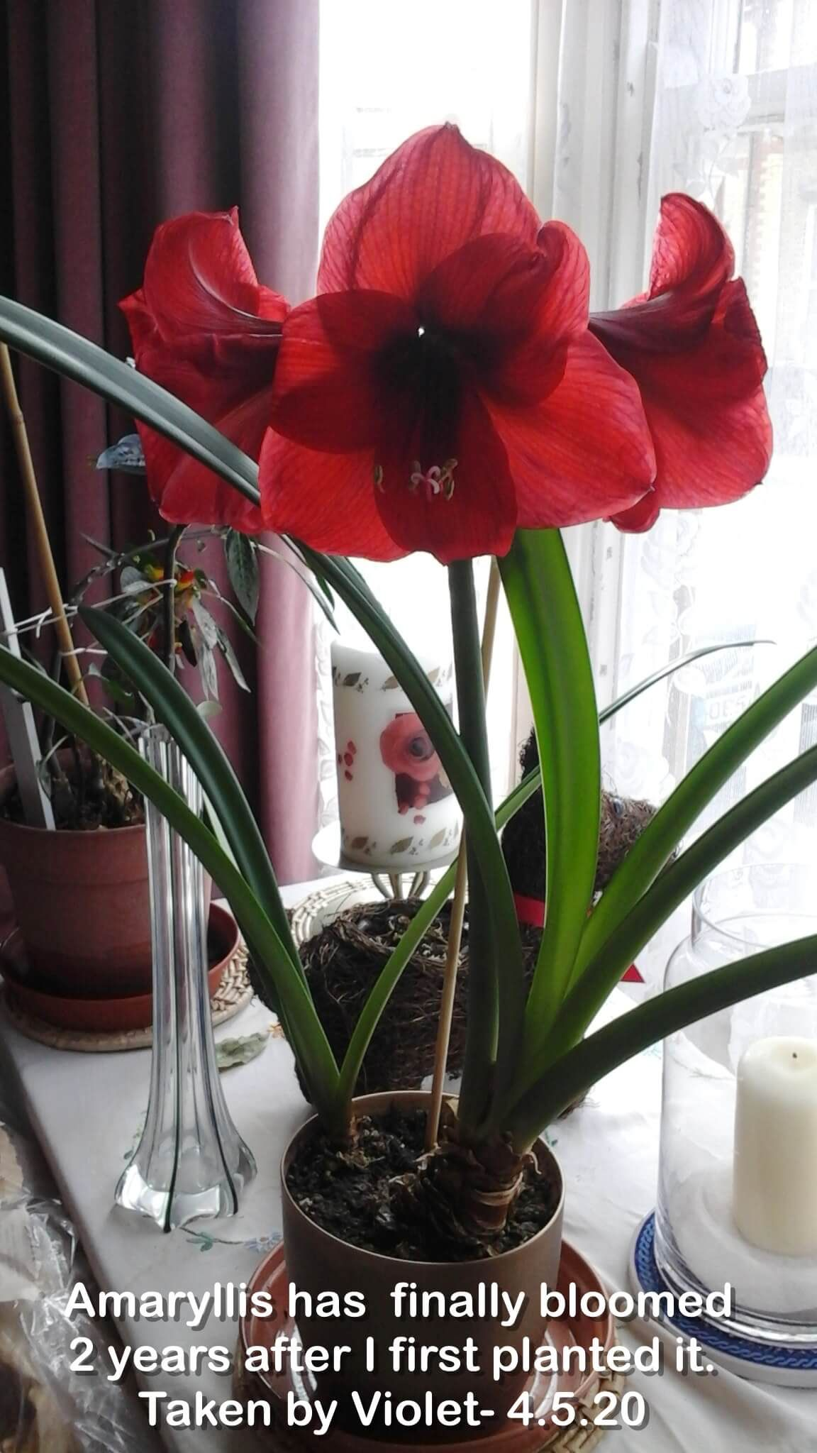 Amaryllis has  finally bloomed 2 years after I first planted it.