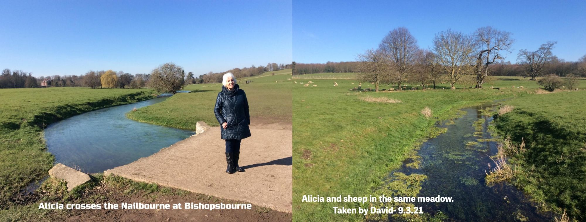 Alicia and sheep in the same meadow.