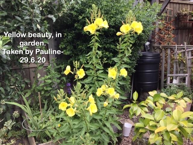 Yellow beauty, in garden.