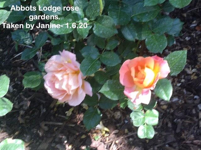 Abbots Lodge rose gardens.