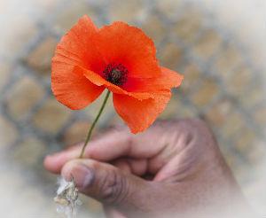 Gently held poppy
