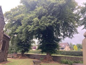 Pruned Lime Trees