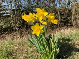 Daffodils on the back road