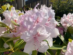 Rhododendron Gods Creation