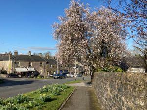 Village Blossom Tree