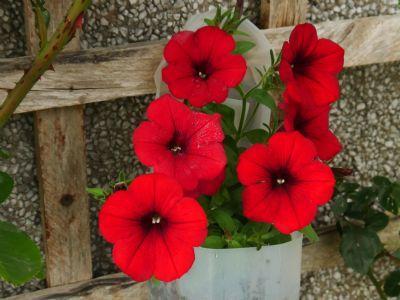 """FF"""") petunias"""
