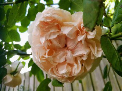 Paru Oatey: Summer rose