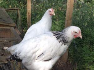 Hens 1