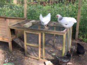 Hens 4