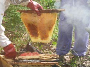 Raw honey being harvested from Top Bar Hive