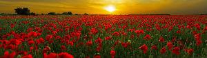 Remebrance poppy field