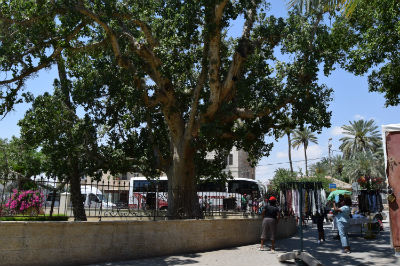 Sycamore tree in Jericho
