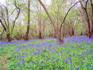 Swithland Woods at Bluebell time