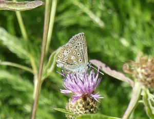 Common Blue on Knapweed