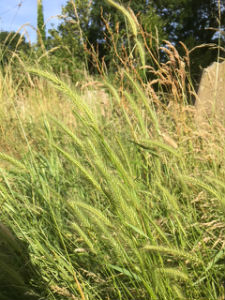 meadow barley