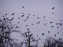 a clattering of jackdaws