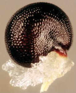 Corydalis Lutea diaspore image taken by Malcolm Storey