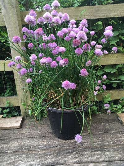 Chives gone crazy!