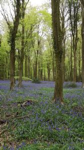 Bluebell Walk 2018 1