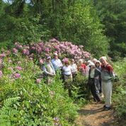 First Rhododendrons on Walk