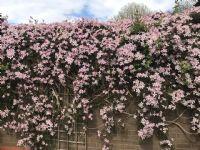 Clematis in Geoffs garden CV