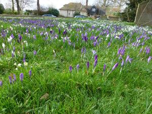 Birlingham Snowdrops 1