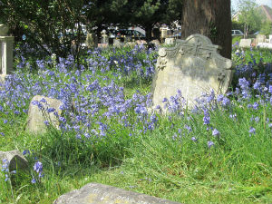 Bluebells in the churchyard April 2017